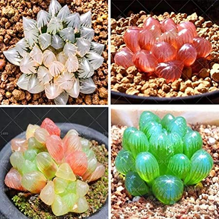 Amazon Com Myedo 500 Pcs Rare Crystal Clear Beauty Succulents