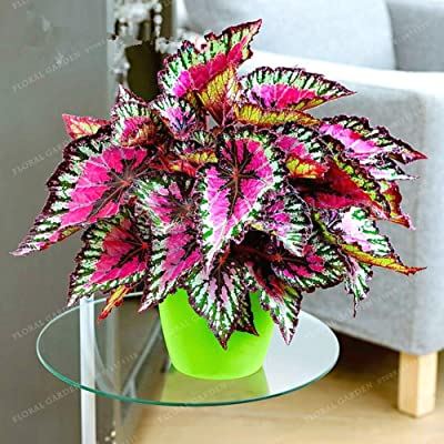 200pcs Janpanse Bonsai Coleus Bonsai Foliage Plants Perfect Color Rainbow Dragon Potted Bonsai Garden Courtyard Balcony Beautiful Flower Plant Garden (11): Garden & Outdoor