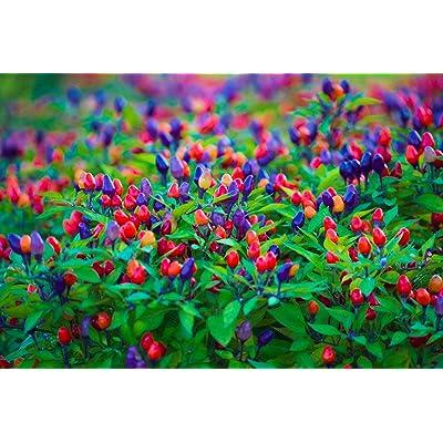 10 Blue Pepper Seeds Non GMO Rainbow Colored Fruit : Garden & Outdoor