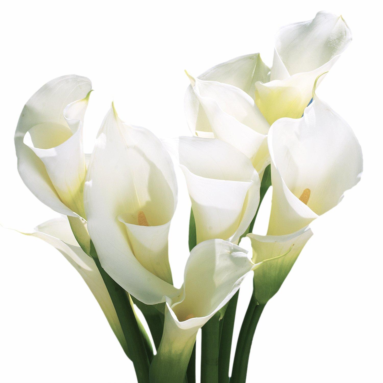 GlobalRose 36 Fresh Open Cut White Calla Lilies - Fresh Flowers For Birthdays, Weddings or Anniversary.