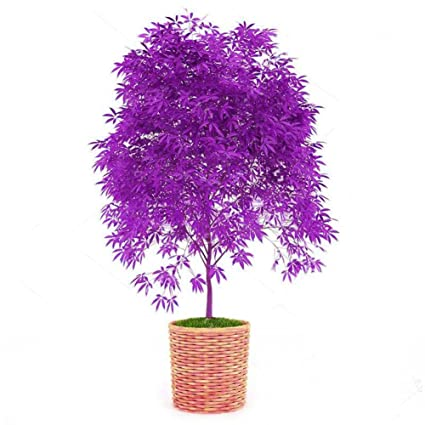 Taloyer 30pcs Rare Purple Maple Seeds Bonsai Tree Home Garden Japanese  Maple Plants