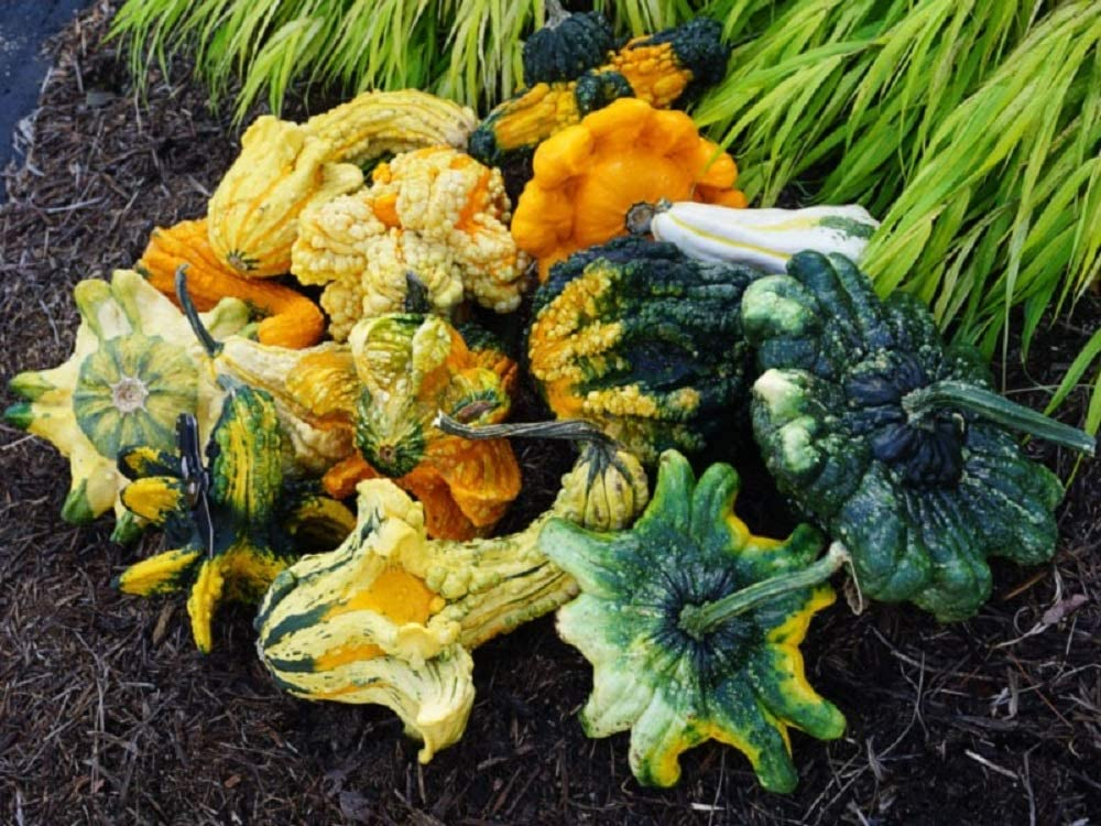 David's Garden Seeds Gourd Crowns 9933 (Multi) 25 Non-GMO, Open Pollinated Seeds