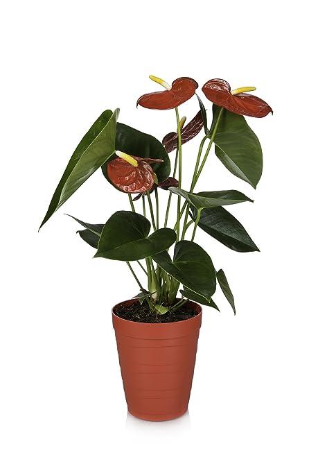 amazon com just add ice 308442 anthurium plant 5 x 5 x 16 red