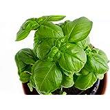 RDR Seeds Genovese Basil Seeds for Planting - Heirloom Non-GMO Sweet Basil Herb Seeds for Planting Indoor or Outdoor Herb Gar