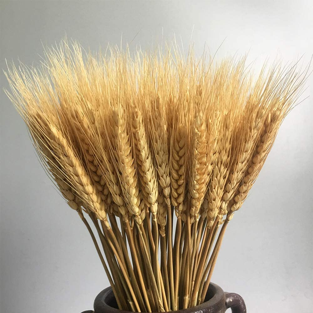 CHALAIR 100 Stems Dried Wheat Stalks Dried, Natural Ear of Wheat Grain Flowers for Home Dining Table Flower Arrangement Art Wedding Decoration