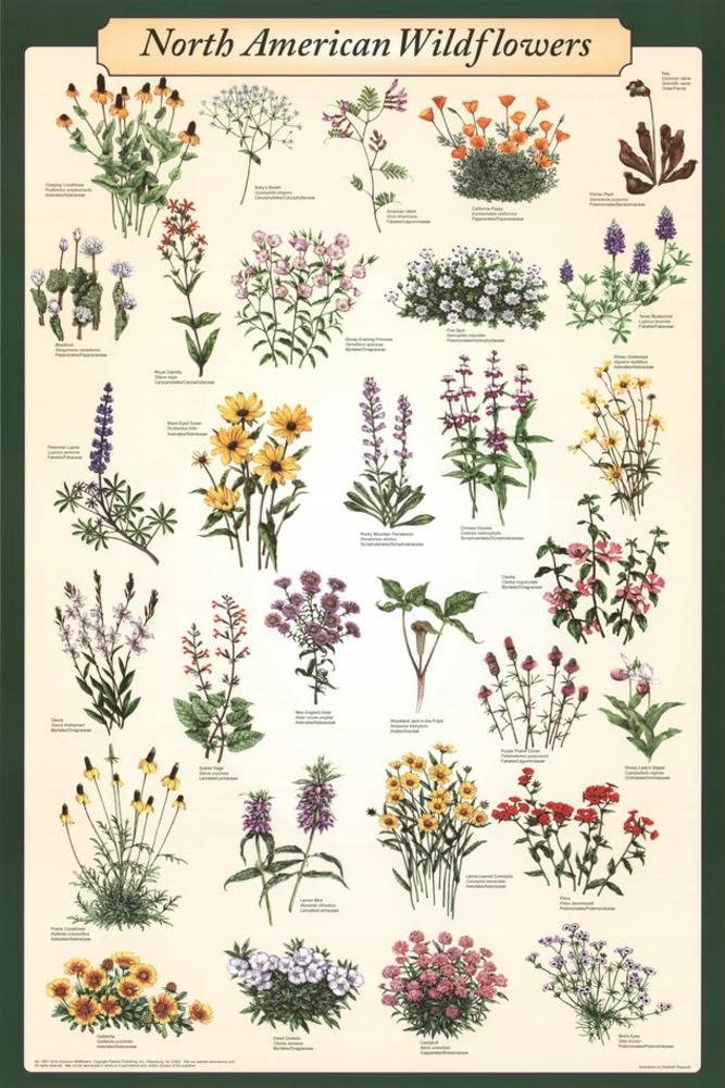 North American Wildflowers Educational Science Chart Poster Poster Poster Print, 24x36