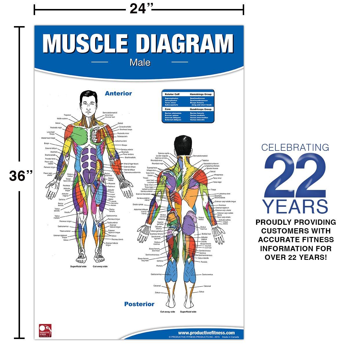 Amazon Male Muscle Diagram 9780973941111 Andre Noel Potvin