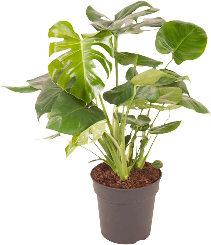 Planta de interior de Botanicly – Hoja de ventana – Altura: 70 cm – Monstera Deliciosa