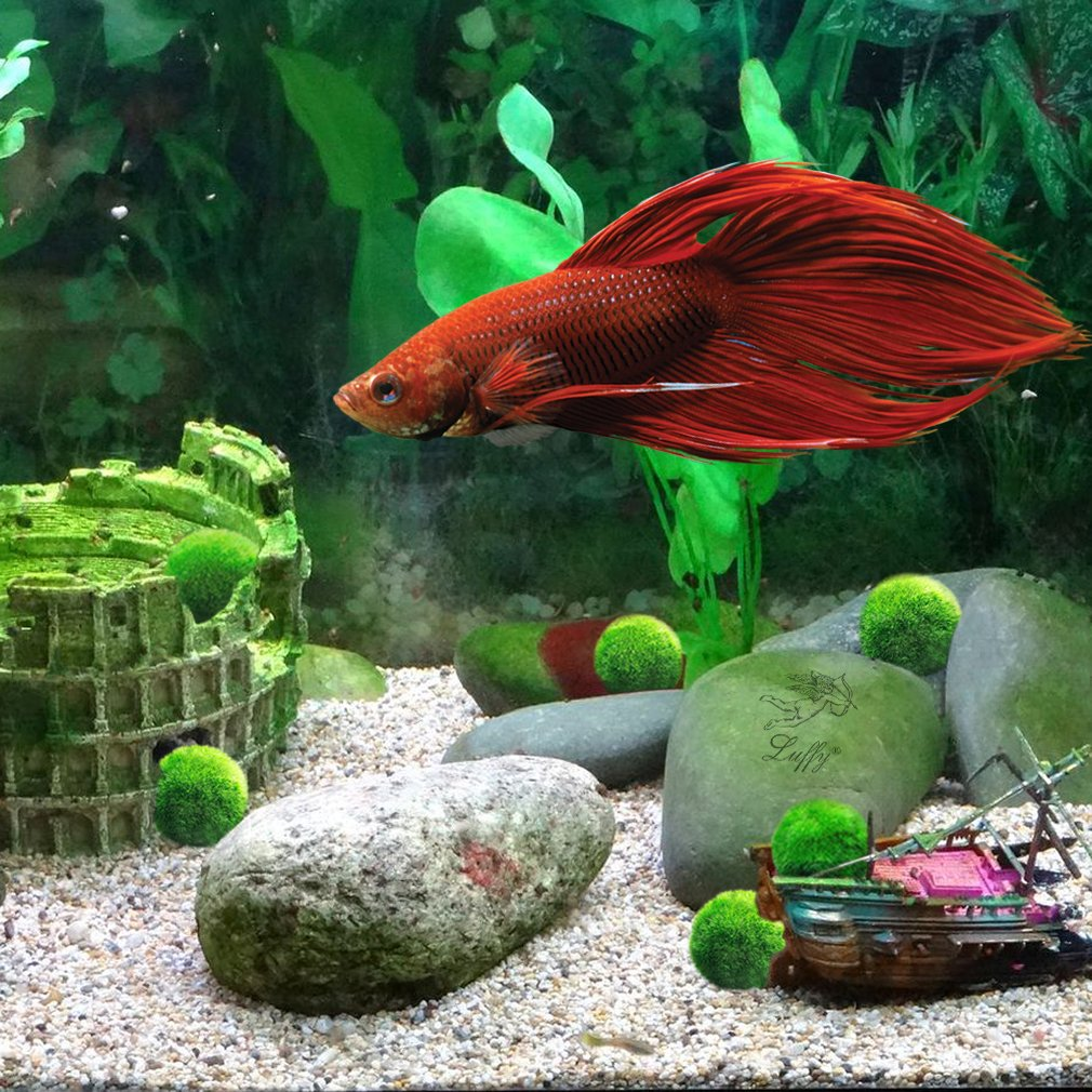 LUFFY Betta Balls : Live Round-Shaped Marimo Plant : Natural Toys ...