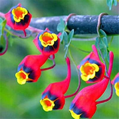 ! New Garden Plant 10pcs Fresh Colorful Tropaeolum majus Nasturtium Seeds Easy Planting flower Hanging Plants : Garden & Outdoor