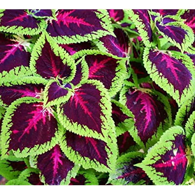 100pcs Coleus Seeds, Colored Grass Seeds Colorful Leaves Beautiful Flower for Home Garden Balcony Potted Plants : Garden & Outdoor