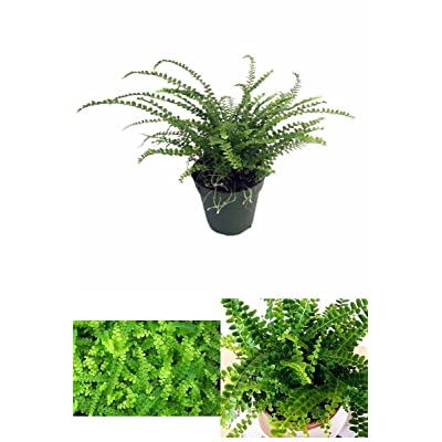 "Lemon Button Fern 4"" Pot - Nephrolepis cordifolia Duffii Garden Plant Home New : Garden & Outdoor"