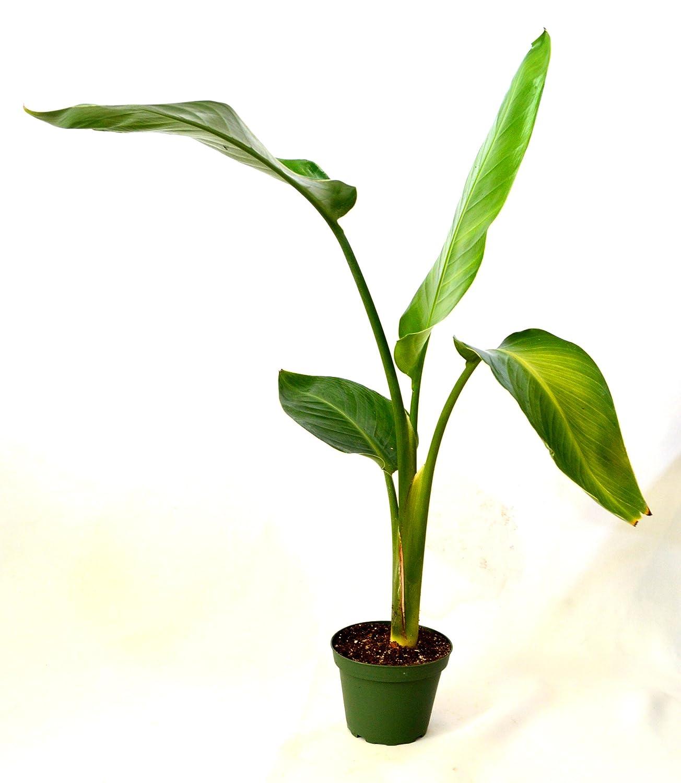 Amazon 9greenbox White Bird Of Paradise 4 Pot Flowering