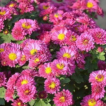 Kisshes Seedhouse 10pcs Rare Marguerites Graine Fleur