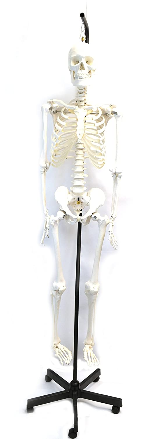 Human Skeleton Anatomical Model With Hanging Stand Medical Quality