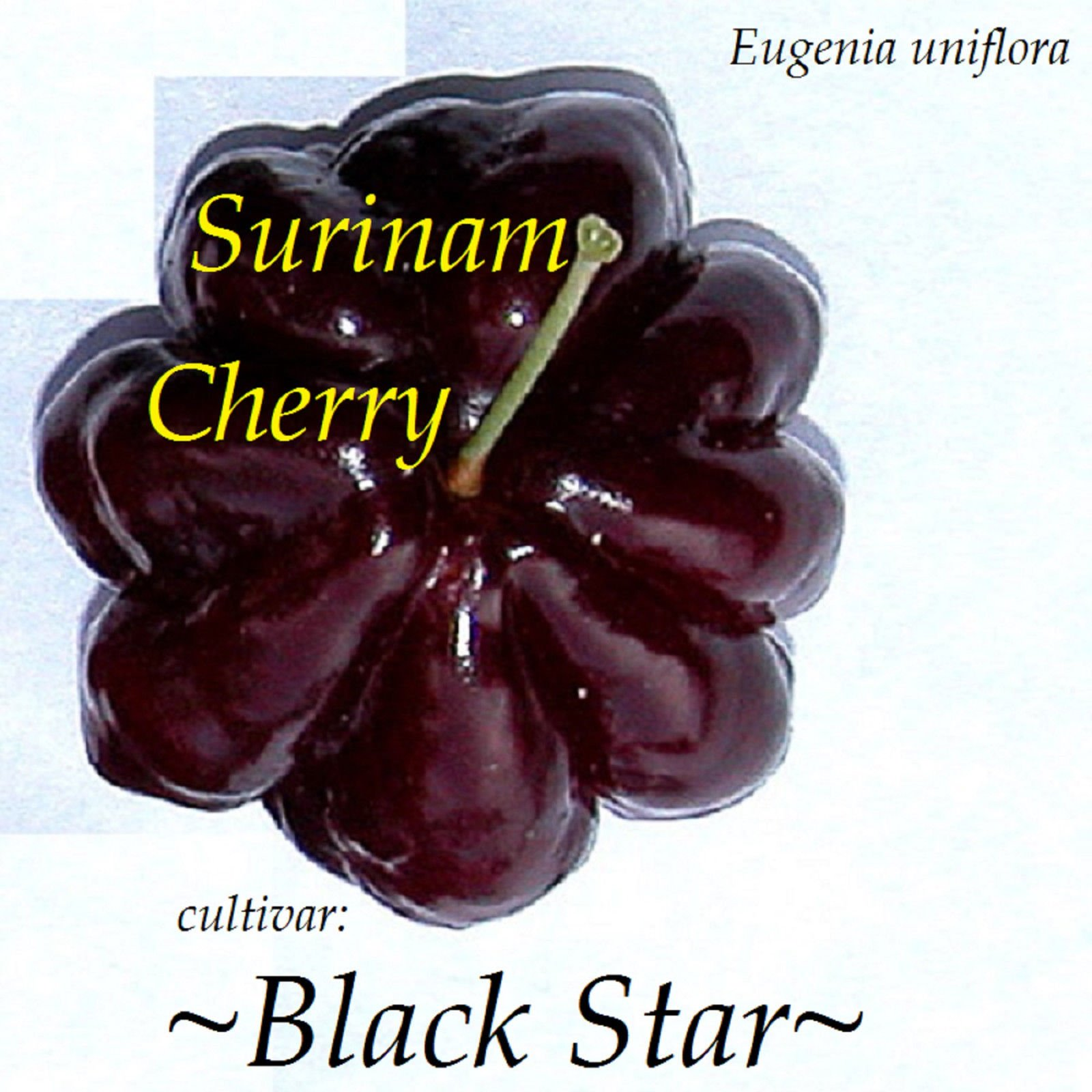 ~BLACK STAR~ cv Surinam Cherry Fruit Tree Eugenia uniflora 10 LIVE potd STARTERS