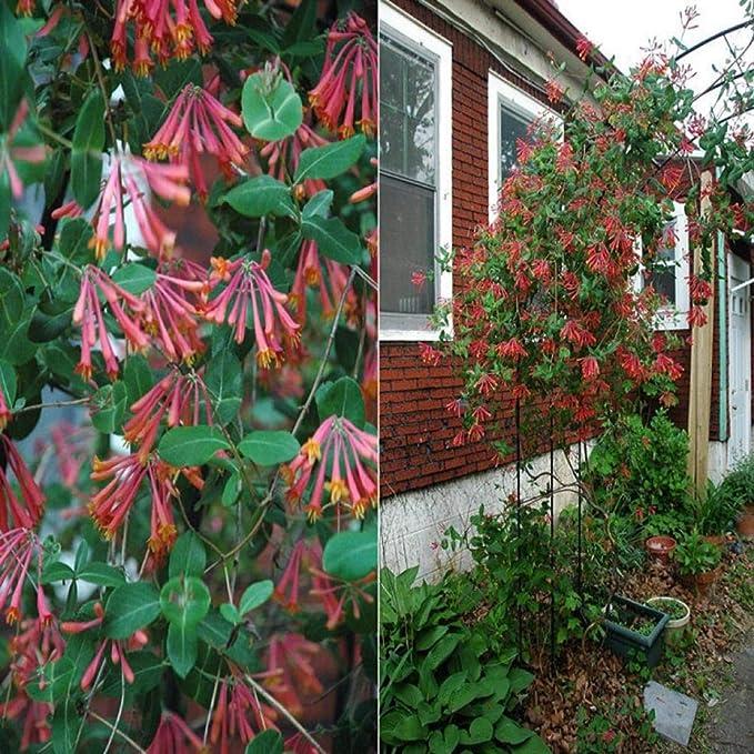 Madreselva plantones en maceta balcón jardín pared escalada ...