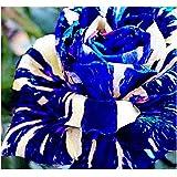 Adenium obesum Rare Blue - Wüstenrose - 3 Samen