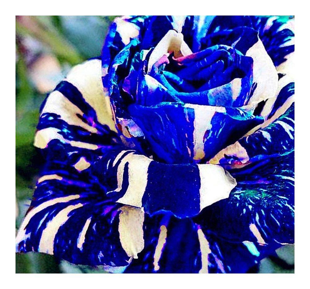 Adenium obesum Rare Blue - Karoo rose - desert rose - impala lily - 3 seeds Exotic Plants