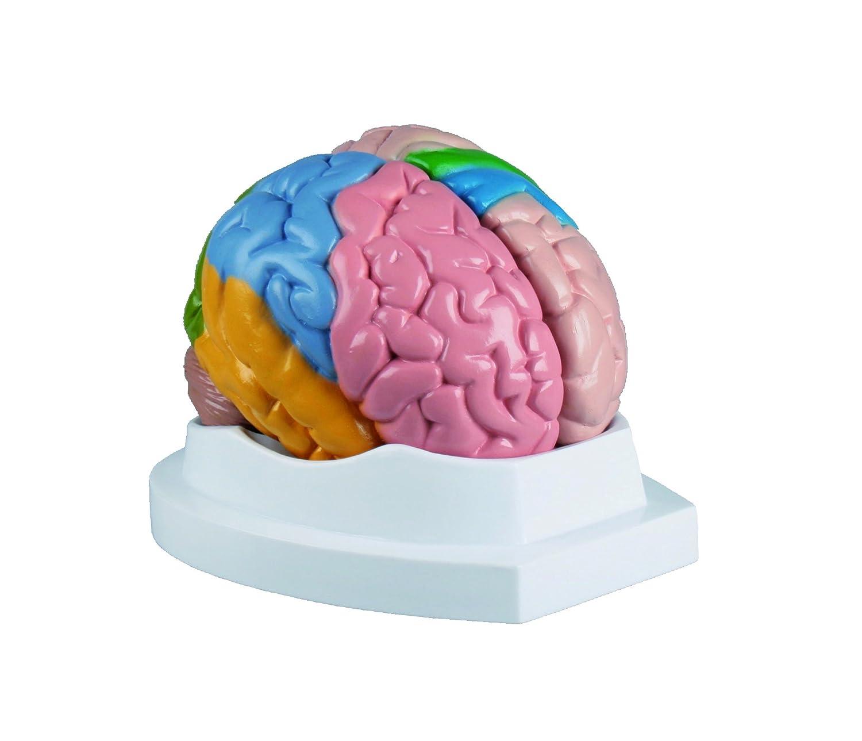 Modell - Menschliches Gehirn: Amazon.de: Drogerie & Körperpflege
