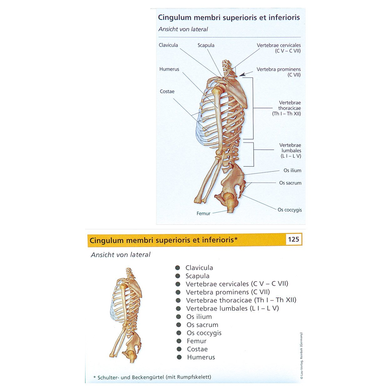 Lernkärtchen Muskel- und Skelettsystem, 2er Set: Amazon.de: Sport ...