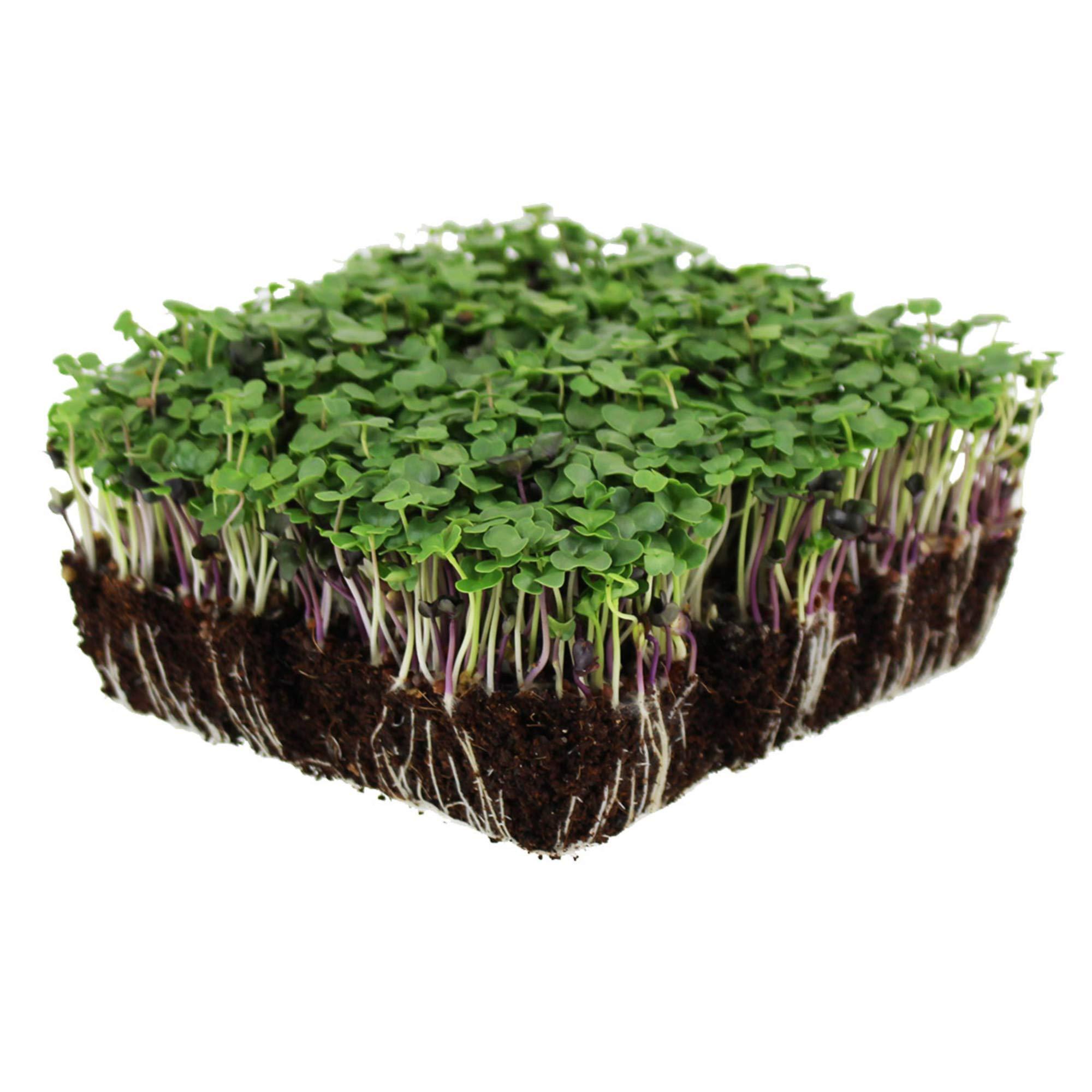 Basic Salad Mix Microgreens Seeds | Non-GMO Micro Green Seed Blend | Broccoli, Kale, Kohlrabi, Cabbage, Arugula, More (1 Pound)