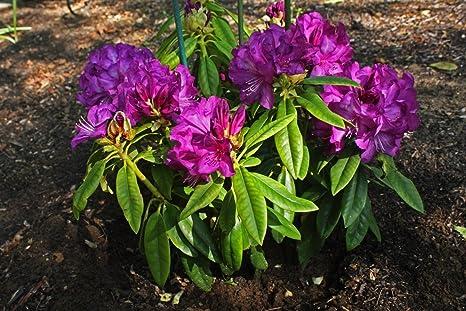 Amazon Com Rhododendron Purple Passion Great Purple Bloom Hard