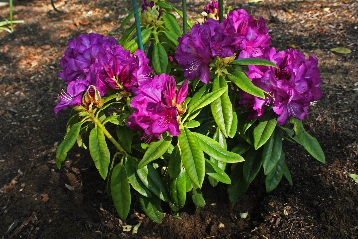 Rhododendron Purple Passion - Great Purple Bloom Hard to -10 F (One Gallon)