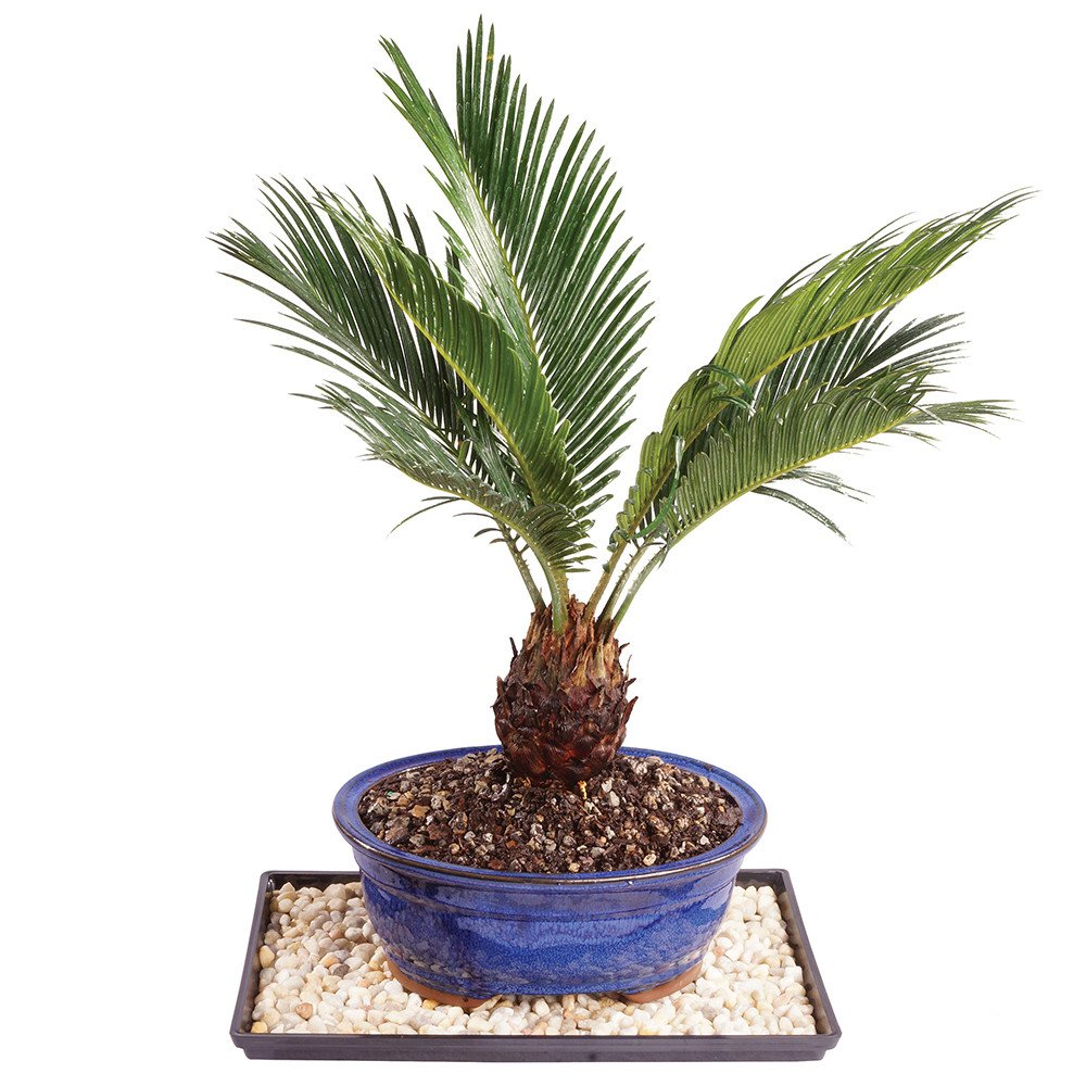 Brussel's Live Sago Palm Indoor Bonsai Tree - 8 Years Old; 8'' to 12'' Tall with Decorative Container, Humidity Tray & Deco Rock by Brussel's Bonsai