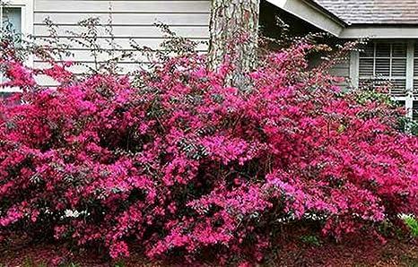 Arbusti Decorativi Da Giardino : Arbusto da giardino ornamentale siepe rosa giapponese loropetalum