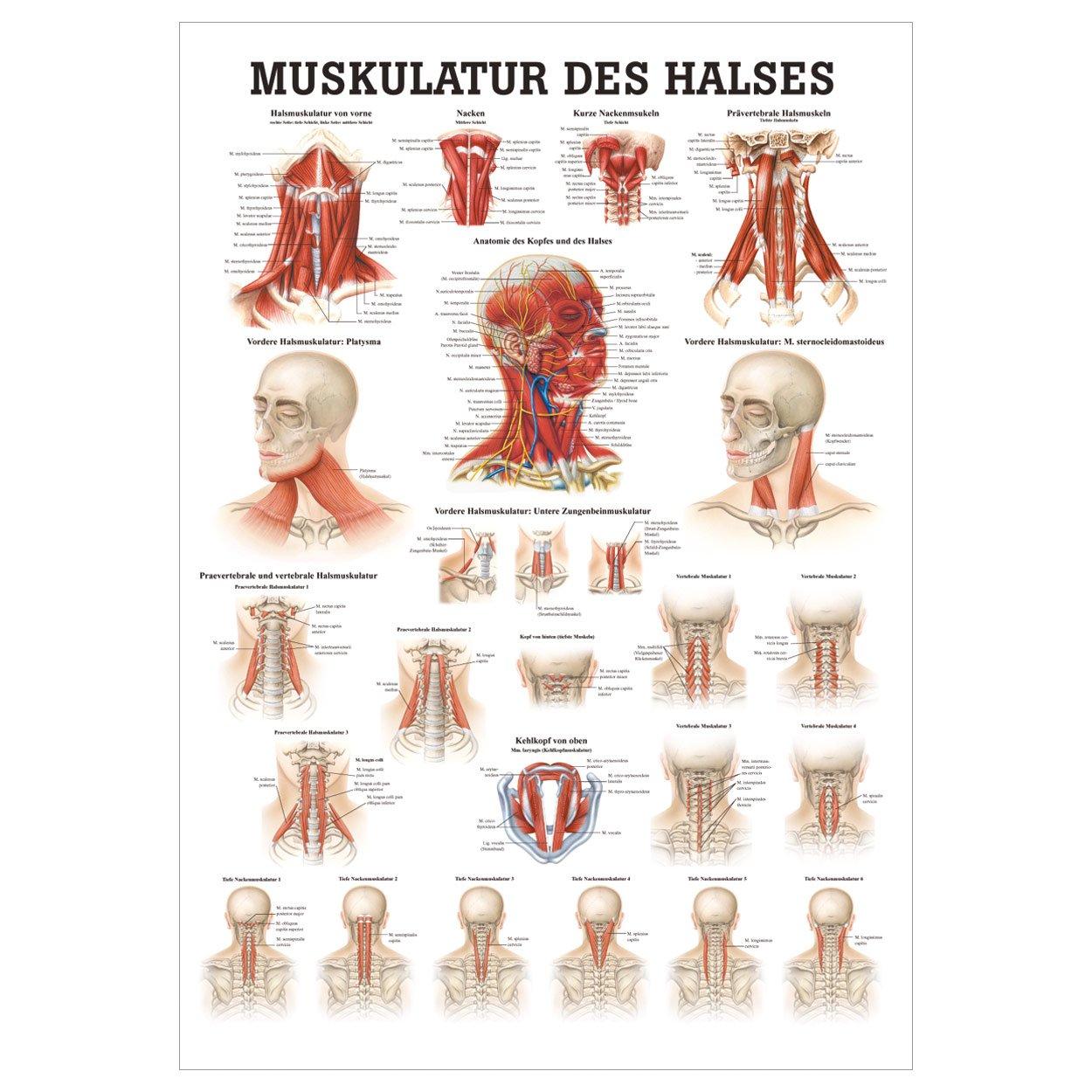 Muskulatur des Halses Mini-Poster Anatomie 34x24 cm medizinische ...