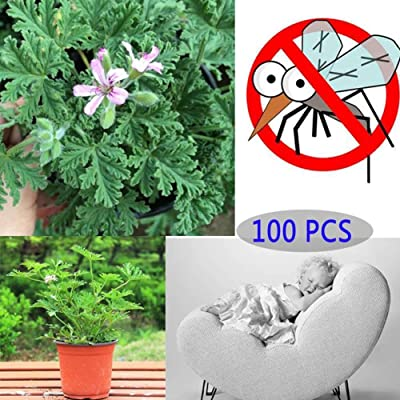 Mozzie Buster Seeds, Citronella Plant Seed Mozzie Buster Mosquito Repellent Garden Plant Decor Mozzie Buster Seeds 100 Pcs: Sports & Outdoors