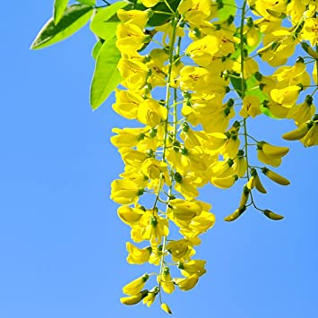 Laburnum alpinum Alpengoldregen 20 Samen