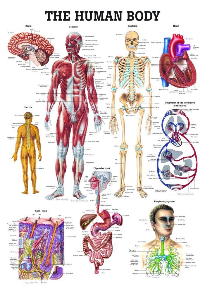 The Human Body Laminated Anatomy Chart Amazon Industrial