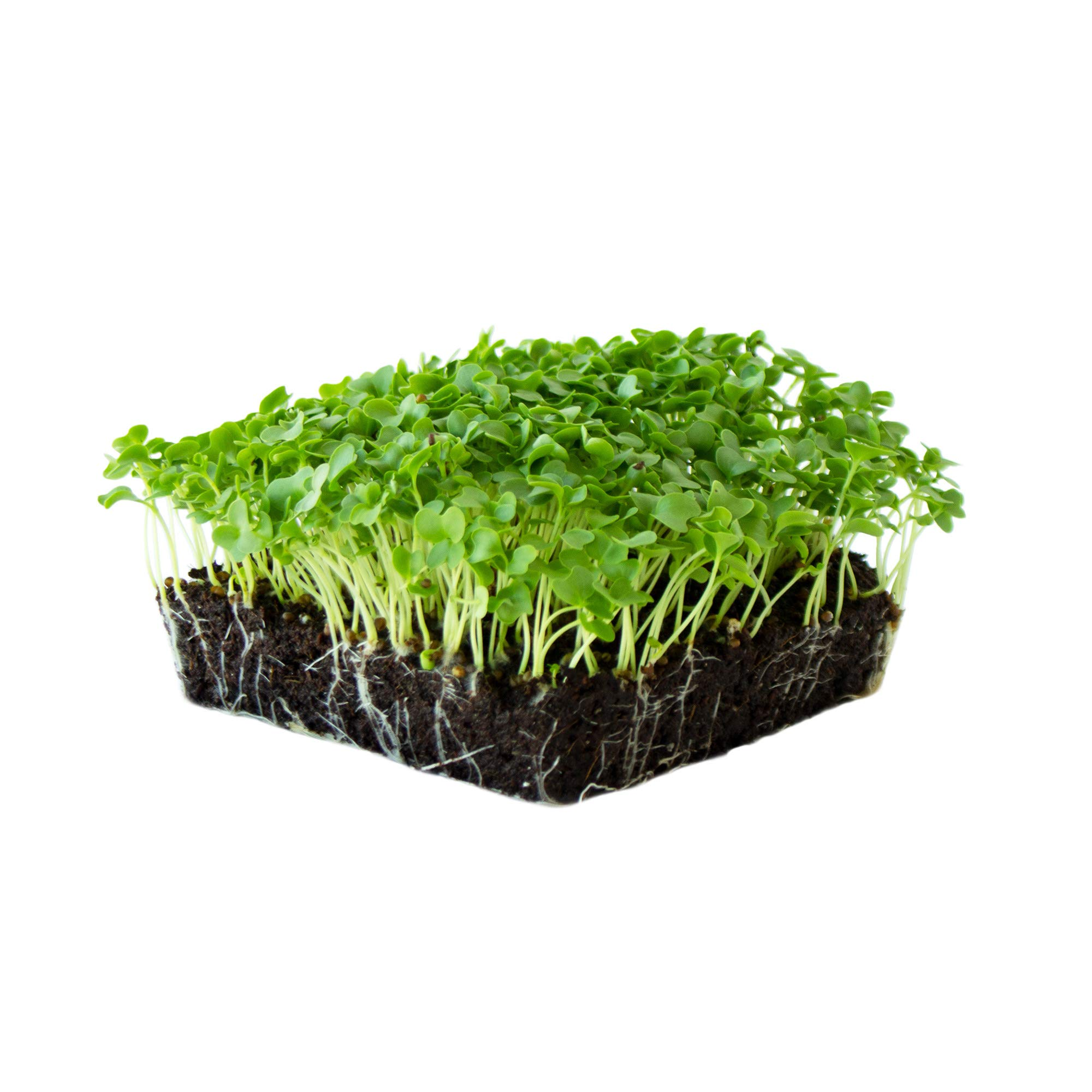 Organic Kale Garden Seeds - Vates Blue Scotch Curled - 5 Lb - Non-GMO, Heirloom- Vegetable Gardening, Farm & Microgreens by Mountain Valley Seed Company