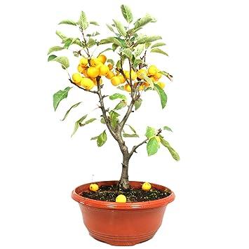 Manzano ornamental, Malus Golden Hornet, bonsái para exterior, 10 años, altura 44