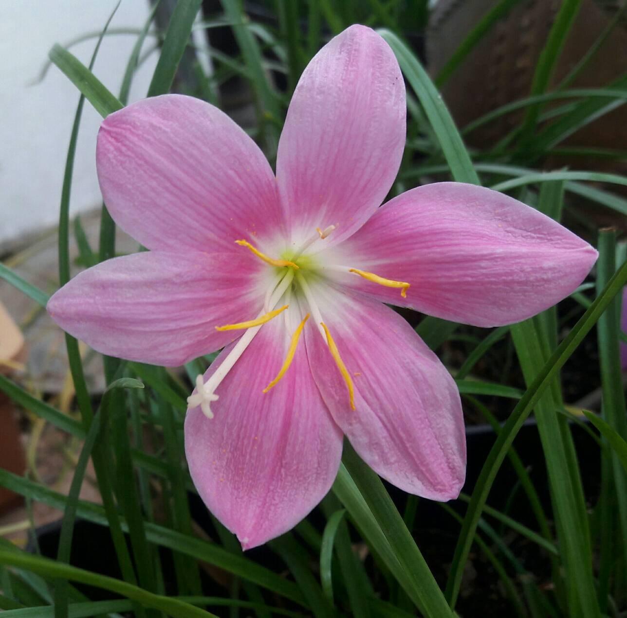 Amazon Rain Lily Bulbs Zephyranthes Grandiflora Magic Lily
