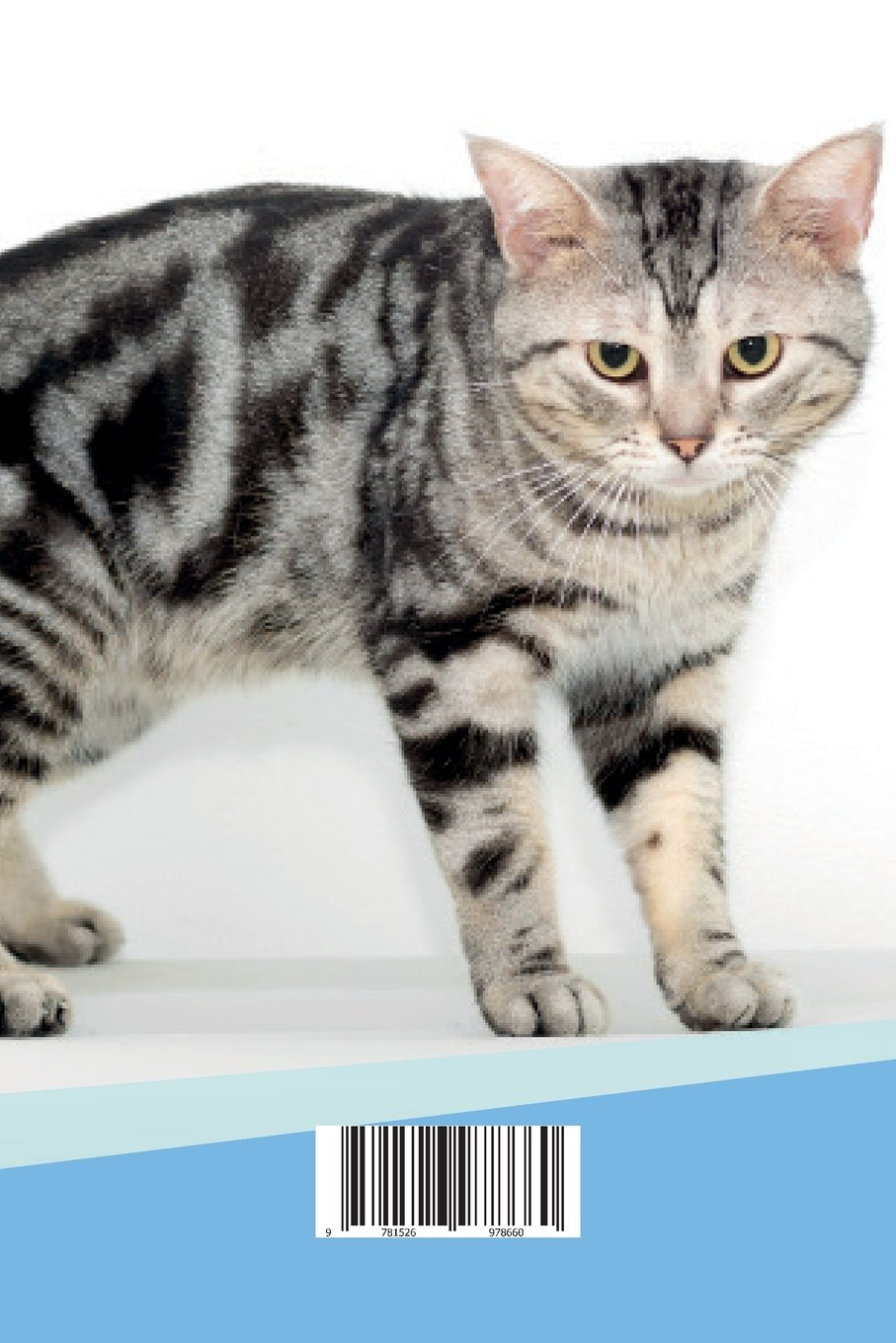 Full Grown American Shorthair Cat