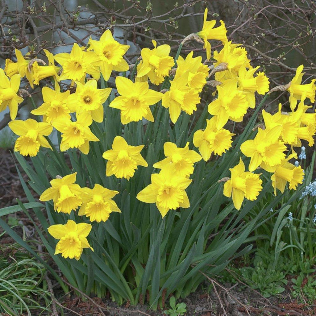 Van Zyverden Daffodils Dutch Master Set of 25 Bulbs by VAN ZYVERDEN