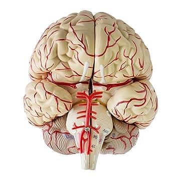 MagiDeal 1 Stück Gehirn Anatomie Modell Medizinisches für Anatomie ...