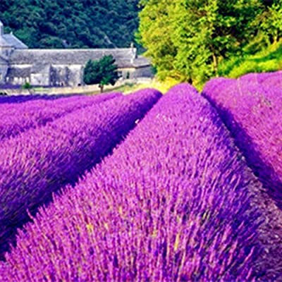 32gagwwc 100Pcs/Pack Lavender Herb Seeds Balcony Aromatic Flower SeedsEasily Grow, Home Courtyard Garden Plants, Indoor Outdoor, Decoration Gifts 1# : Garden & Outdoor