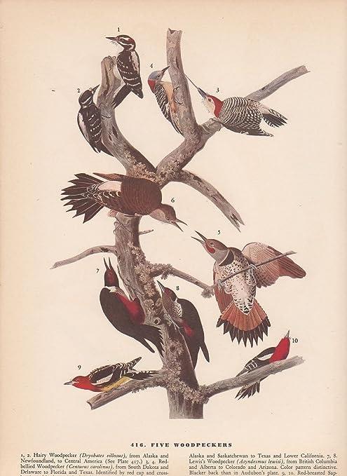 """1942 Vintage AUDUBON BIRDS #373 /""""TWO GROSBEAKS/"""" SWEET Color Art Plate Lithograph"""