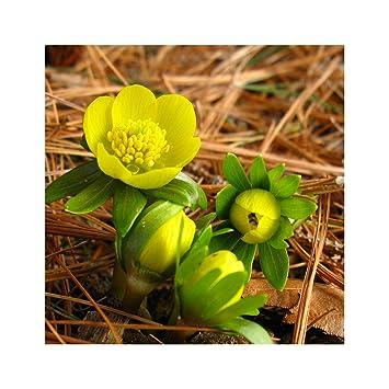 Garthwaite Nurseries 100 Eranthis Hyemalis Bulbs Winter