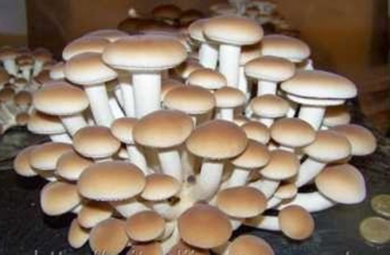 Castaño seta (Agrocybe Aegerita) micelio esporas seca de semillas (10g): Amazon.es: Jardín