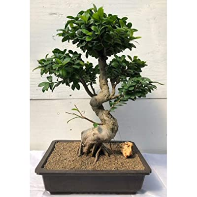 Fruiting Green Emerald Ficus Bonsai Tree (ficus microcarpa) : Garden & Outdoor