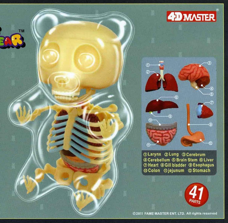 Gummi Bear Anatomy Model 4 D Puzzle Kit Amazon Clothing