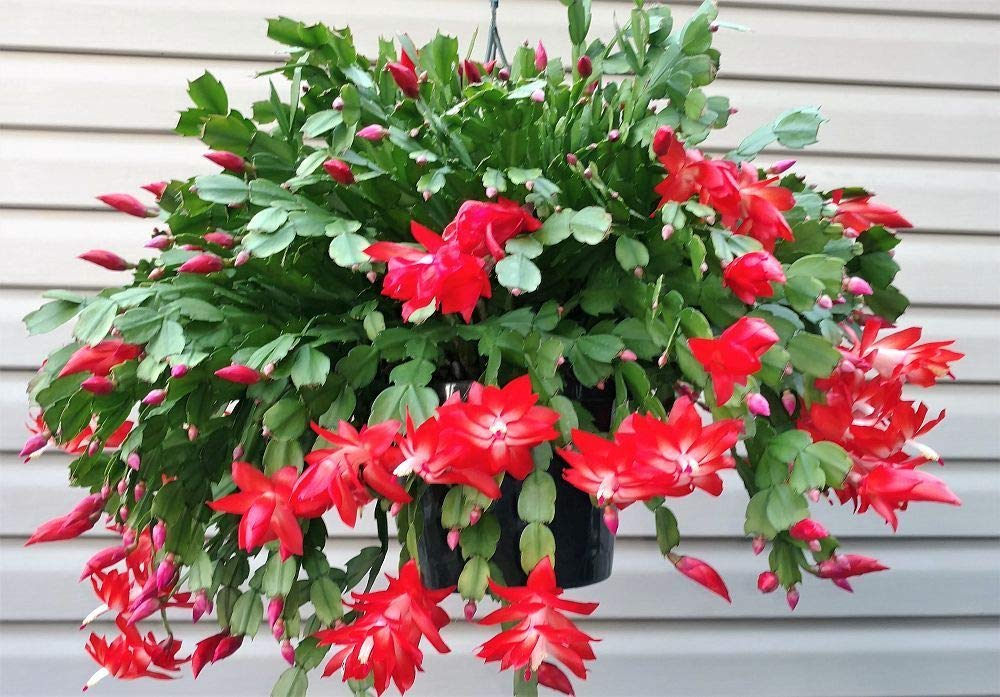 Selling 1 Red Christmas Cactus Zygo Schlumbergera Live Plant Rooted Cutting