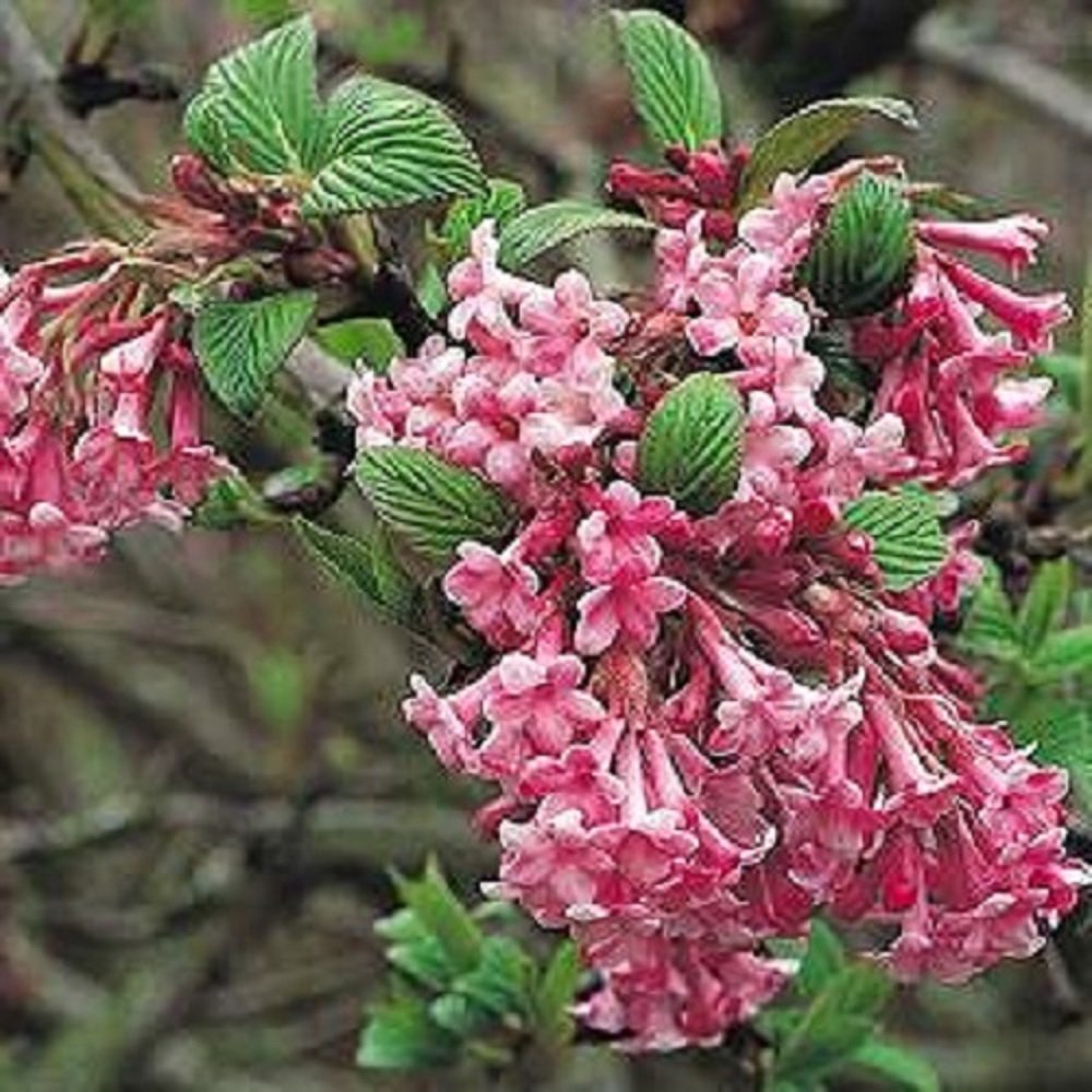 1x 5ft Extra Large Viburnum Dawn Plant Winter Flowering Shrub
