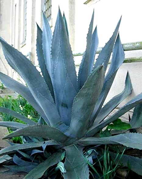 Amazon Com Agave Americana Blue Agave 2 Plants In Big Size