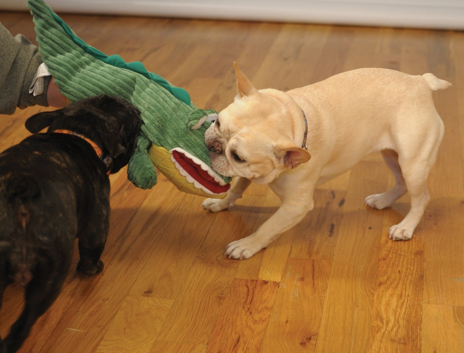 HuggleHounds Plush ,Extremely Durable and Squeaky Hand Puppet, Big Billy The Gator, Dog Toy Puppet , Large by HuggleHounds